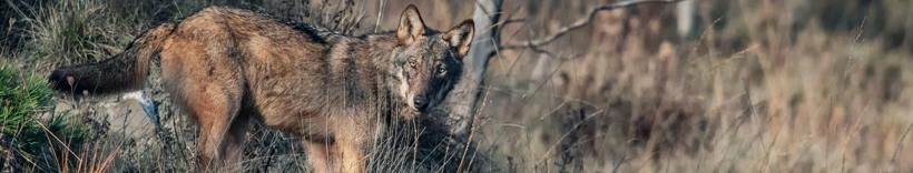 Io non ho paura del lupo
